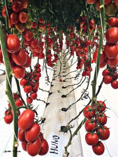 tomatoes red plants food nature