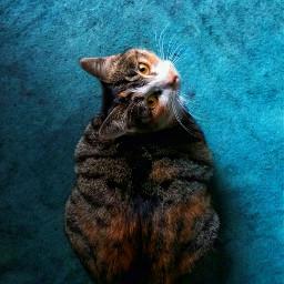 cat pets animal eye blue freetoedit