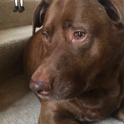 pets dog chocolate lab retriever freetoedit