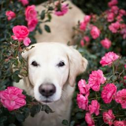 dog rosas freetoedit