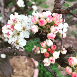 freetoedit tree blossomingtrees