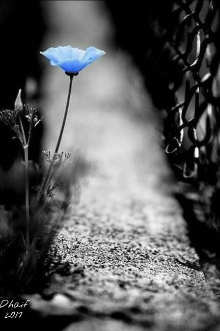 freetoedit blue rose blackandwhite
