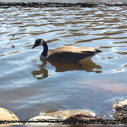 goose wildlife animals pond metroparks