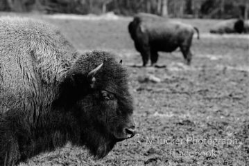 photography petsandanimals blackandwhite bison buffalo